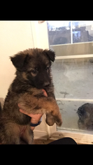 German Shepherd Dog Puppy for sale in EL CENTRO, CA, USA