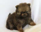 Pomeranian Puppy For Sale in HARRISON, AR, USA