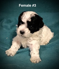 Poodle (Toy) Puppy for sale in SMITHVILLE, MS, USA