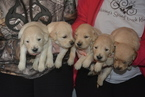 Golden Retriever Puppy For Sale in EXLINE, IA