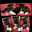 Akita Puppy For Sale in CHESAPEAKE, Virginia,