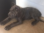 Cane Corso Puppy For Sale in HARTSHORNE, OK, USA