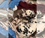 Dalmatian Puppy For Sale in LARGO, FL, USA