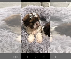 Shih Tzu Puppy for Sale in OTTAWA, Ohio USA