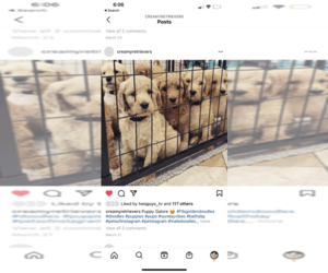 Goldendoodle Puppy for Sale in N HIGHLANDS, California USA