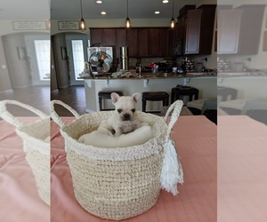 French Bulldog Dog for Adoption in MAGNOLIA SQ, Florida USA