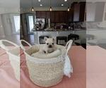 French Bulldog Puppy For Sale in MAGNOLIA SQ, FL, USA