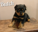 Rottweiler Puppy For Sale in LEBANON, Pennsylvania,
