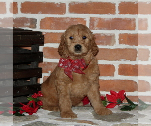 Goldendoodle Puppy for sale in PEACH BOTTOM, PA, USA