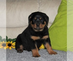 Rottweiler Puppy for sale in QUARRYVILLE, PA, USA