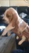 Basset hound puppies Beefy Strong but Gentle