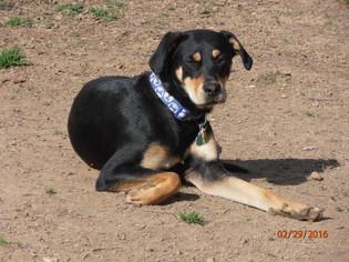 Sammie - Rottweiler / Labrador Retriever / Mixed (short coat) Dog For Adoption