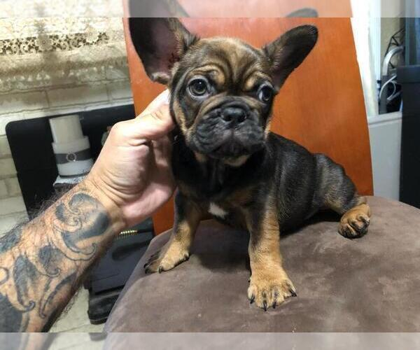 View Ad: French Bulldog Puppy for Sale near Italy