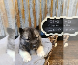 Siberian Husky Puppy for Sale in SAINT JOSEPH, Minnesota USA