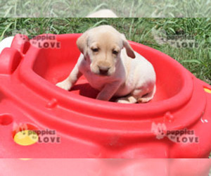 Labrador Retriever Dog for Adoption in SANGER, Texas USA
