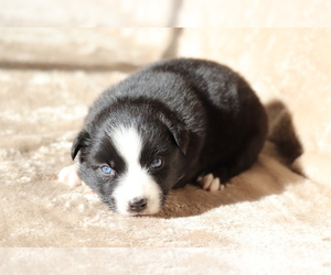 Australian Shepherd Dog for Adoption in CHEHALIS, Washington USA