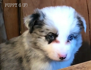 Border Collie Puppy For Sale in WHITE SALMON, WA, USA