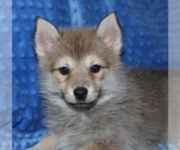 Medium Photo #6 Pomsky Puppy For Sale in DENTON, TX, USA