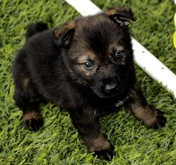 German Shepherd Dog Puppy For Sale in ALBANY, KY