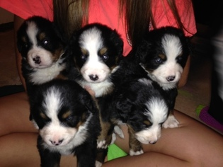 Bernese Mountain Dog Puppy For Sale in CARROLLTON, OH