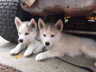 Siberian Husky Puppy For Sale in BARNWELL, SC