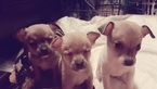 Chihuahua Puppy For Sale in BENTON, IL, USA