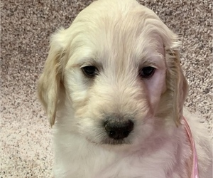 Goldendoodle Puppy for sale in PLATTE, SD, USA