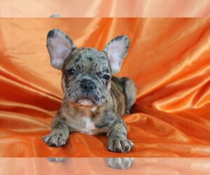 French Bulldog Dog for Adoption in CHURCH STREET, New York USA