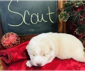 Shiba Inu Puppy for sale in SULLIVAN, IL, USA