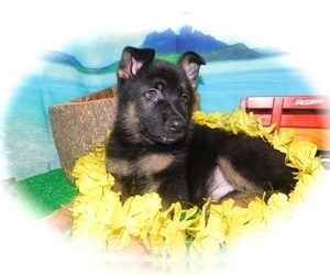 German Shepherd Dog Puppy for Sale in HAMMOND, Indiana USA