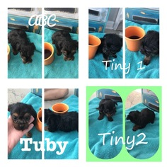 Yorkshire Terrier Puppy For Sale in POPLARVILLE, MS