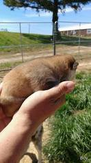 Wolf Hybrid Puppy For Sale in HARTFORD, KY