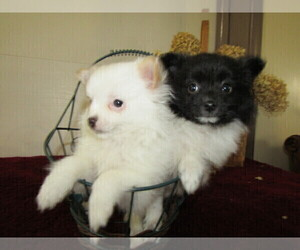Pomeranian Puppy for sale in BLMGTN, IN, USA