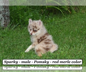 Pomsky Puppy for sale in HOPKINSVILLE, KY, USA