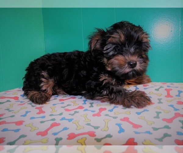 Medium Photo #3 Yorkshire Terrier Puppy For Sale in PATERSON, NJ, USA