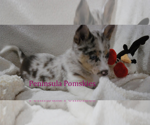 Pomsky Puppy for sale in SEQUIM, WA, USA