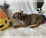 Small #15 English Bulldog