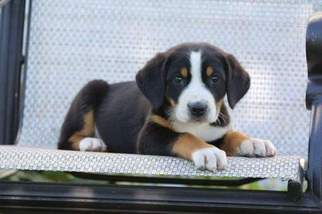 View Ad Greater Swiss Mountain Dog Puppy For Sale Near