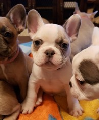 French Bulldog Puppy For Sale in AURORA, TX, USA