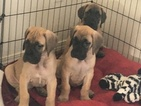 Great Dane Puppy For Sale in EAGLE, ID, USA