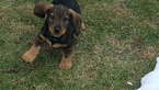 Dachshund Puppy For Sale in EAST EARL, PA