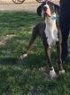 Great Dane Puppy For Sale in TUSCOLA, Illinois,