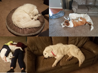 Great Pyrenees Puppy For Sale in PAPILLION, Nebraska,