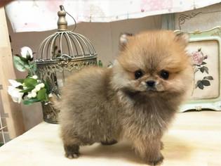 Pomeranian Puppy For Sale in SAN JOSE, CA, USA
