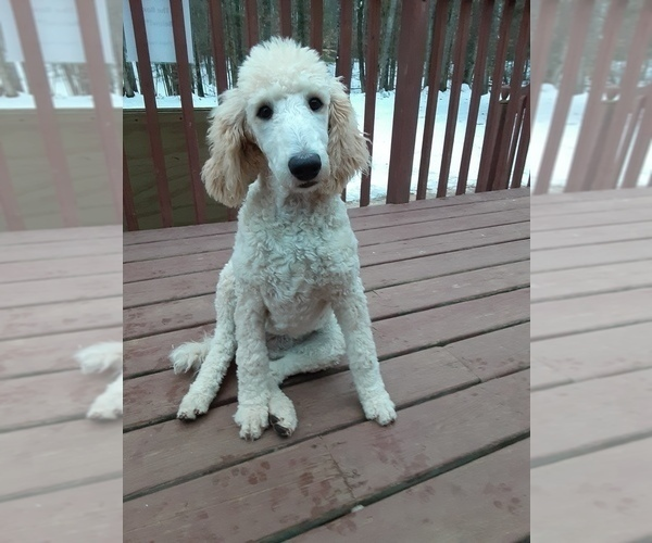 Medium Photo #7 Poodle (Standard) Puppy For Sale in WAUSAUKEE, WI, USA