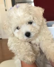 Maltese Puppy For Sale in VAB, VA, USA