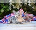 French Bulldog Puppy For Sale in CAMARILLO, CA, USA