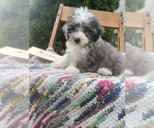 Bernedoodle Puppy for Sale in GRABILL, Indiana USA