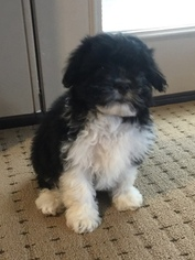 View Ad Australian Shepherd Poodle Toy Mix Puppy For Sale