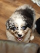 Australian Shepherd Puppy For Sale in DACULA, GA, USA